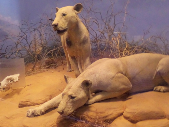 "The ""Tsavo Man-Eaters"" were responsible for the deaths of railroad workers in 1898."
